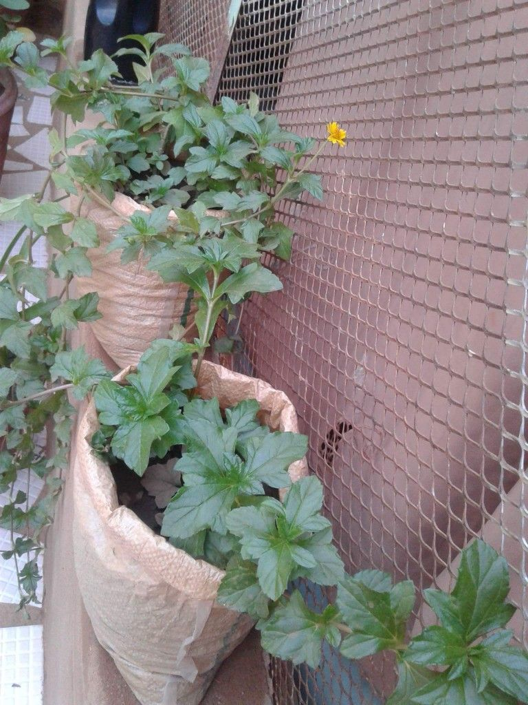 وديليا Wedelia Trilobata يجود في الاراضي الرملية وبجوار شواطئ البحار ينمو في الشمس والظل ولا يتحمل الصقيع التكاثر بالعقل وتقسيم النبات في الر Plants Garden