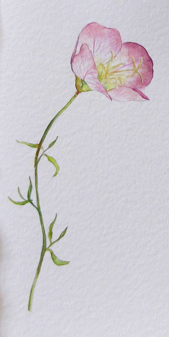 Blueberries Art And Life Evening Primrose Or Paint The Dog Before The Fleas Flower Art Watercolor Flowers Flower Painting