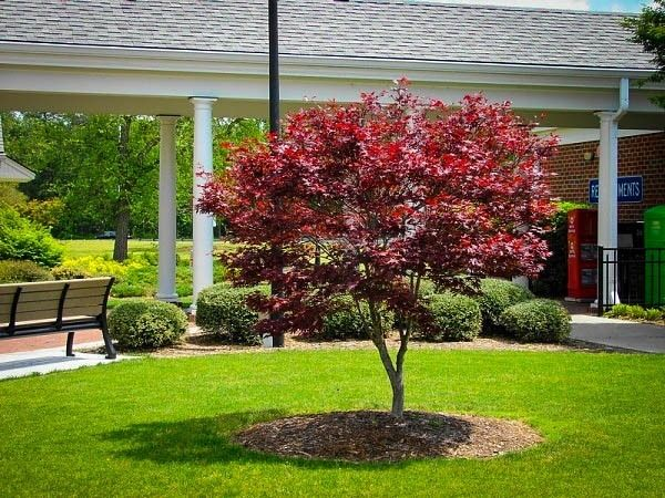 Bloodgood Japanese Maple Home Ideas Japanese Maple Bloodgood
