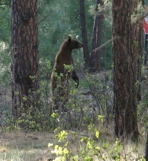 One Of Many Black Bears Around Ruidoso He Was Probably At Cedar Creek Scenic Byway Vacation Sites Ruidoso