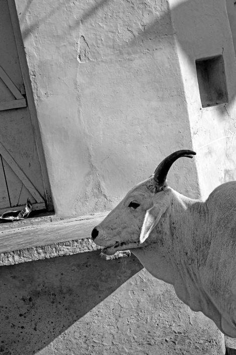 INDIA. 5. Rajasthan. Bundi. A free cow.