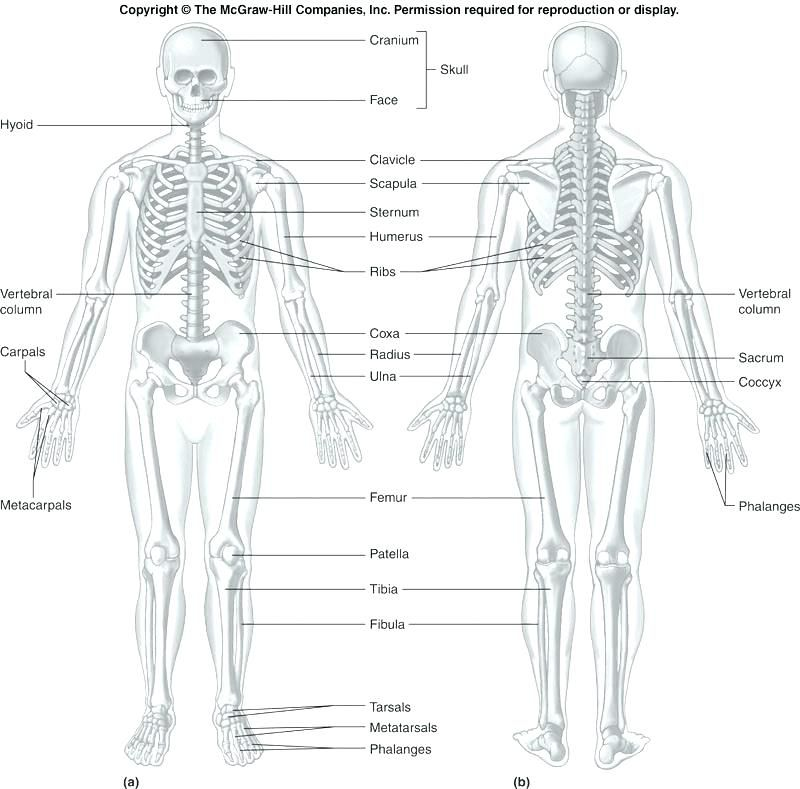 Anatomy And Physiology Printable Worksheets Coloring Labeling Pdf Download Them Try To Solve Human Body Anatomy Human Anatomy And Physiology Human Anatomy Anatomy labeling worksheets