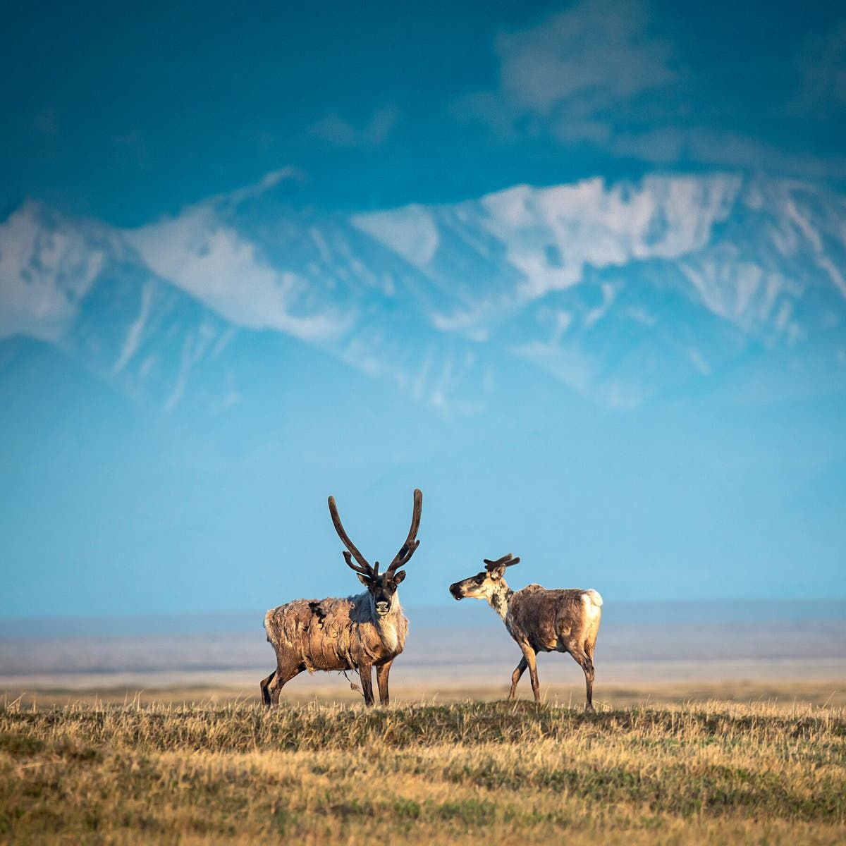 Trump Administration Finalizes Plan To Open Oil Drilling In Alaska S Arctic Refuge The New York Times In 2020 National Wildlife Refuge Wildlife Oil And Gas