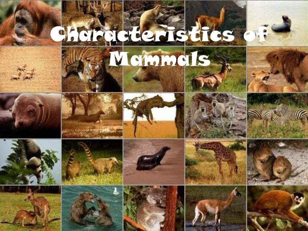 Characteristics Of Mammals By Jdrinks Via Slideshare