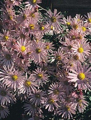 chrysanthemum clara curtis - Google Search