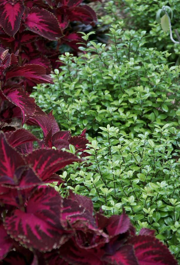 Drought Tolerant Garden Shade Planting Outside Instyle Landscape Design Pittosporum Tenuifolium Golf Ball Kohuhu Magenta Pink Coleus