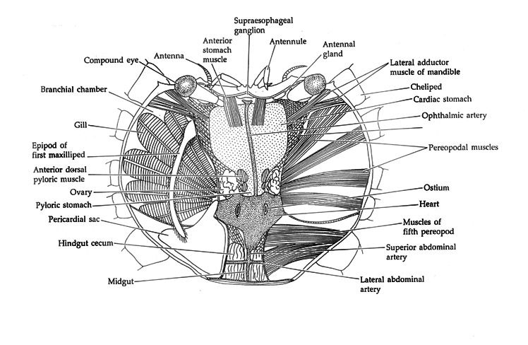 crab anatomy dorsal internal view blue crab dissection