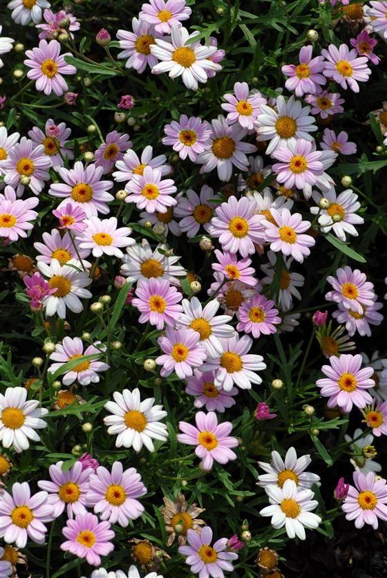 Bloom Flower 14 Inch Living Room Modern Decorative Wall Clock: Molimba® Pink Marguerite Daisy Argyranthemum Frutescens