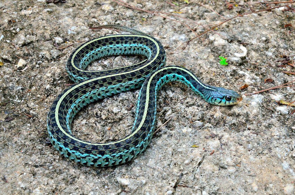 Blue Garter Snake Snake Blue Garter Amber Head