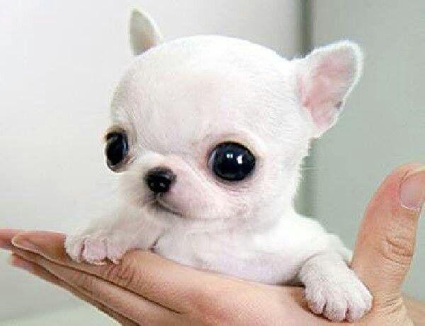 Awwww Susse Tiere Babytiere Chihuahua Welpen