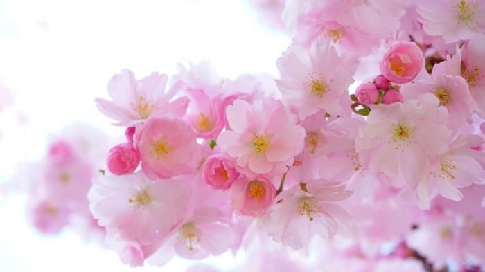 Wisata Musim Semi Jepang Di 3 Taman Ini Kamu Bisa Lihat Bunga Sakura Bermekaran Tribun Travel Japanese Cherry Tree Blossom Flower Spring Flowers