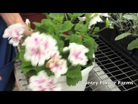 Deadheading Flowers Off Roses Petunias Geraniums And Other Annuals And Perennials Helps Them Bloom L Geraniums Martha Washington Geranium Deadheading Flowers