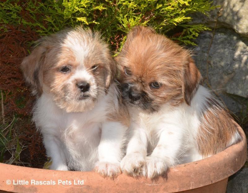 Playful Shih Tzu X Pups Designer And Cross Breed Puppies For Sale Puppies Shih Tzu Pet Plan