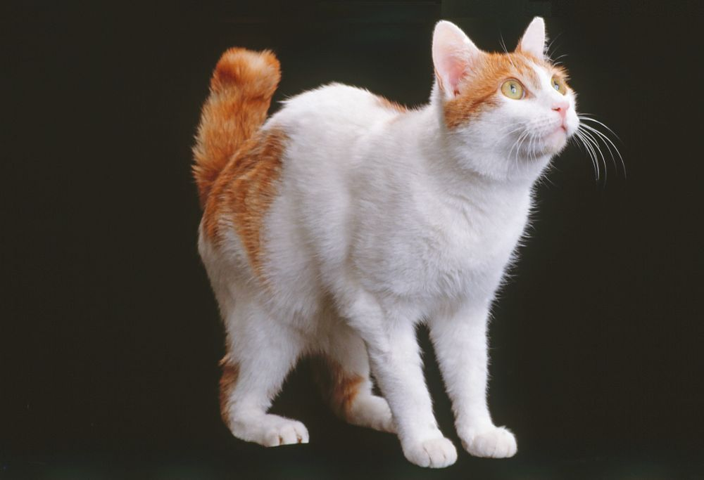 japanese bobtail on green