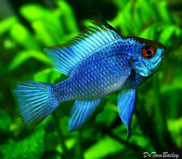 Blue Ram Aquarium Fish Electric Blue Ram Freshwater Aquarium Fish
