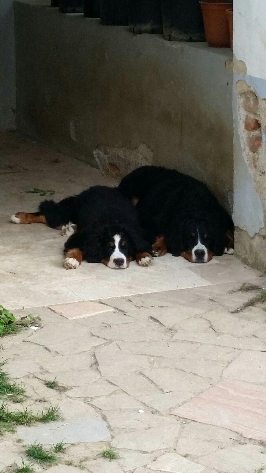 Ein Herz Und Eine Seele Bernese Mountain Dog Dogs Pets