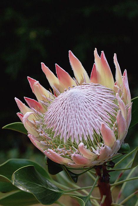 King Protea Protea Cynaroides Bract Art Print By Gerry Ellis Protea Flower Australian Flowers Protea Art