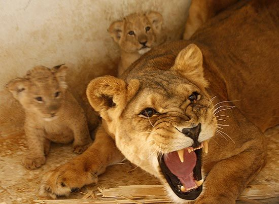 88e0ce48d Never come between a lioness and her cubs! | ❤️Lions❤ | Lioness ...
