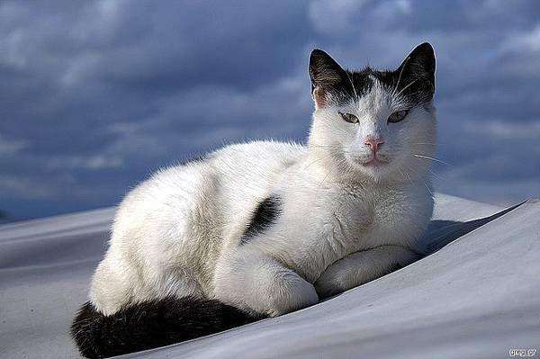 Rarer Cat Breeds Profile - The Aegean cat_May by CatCraze on deviantART