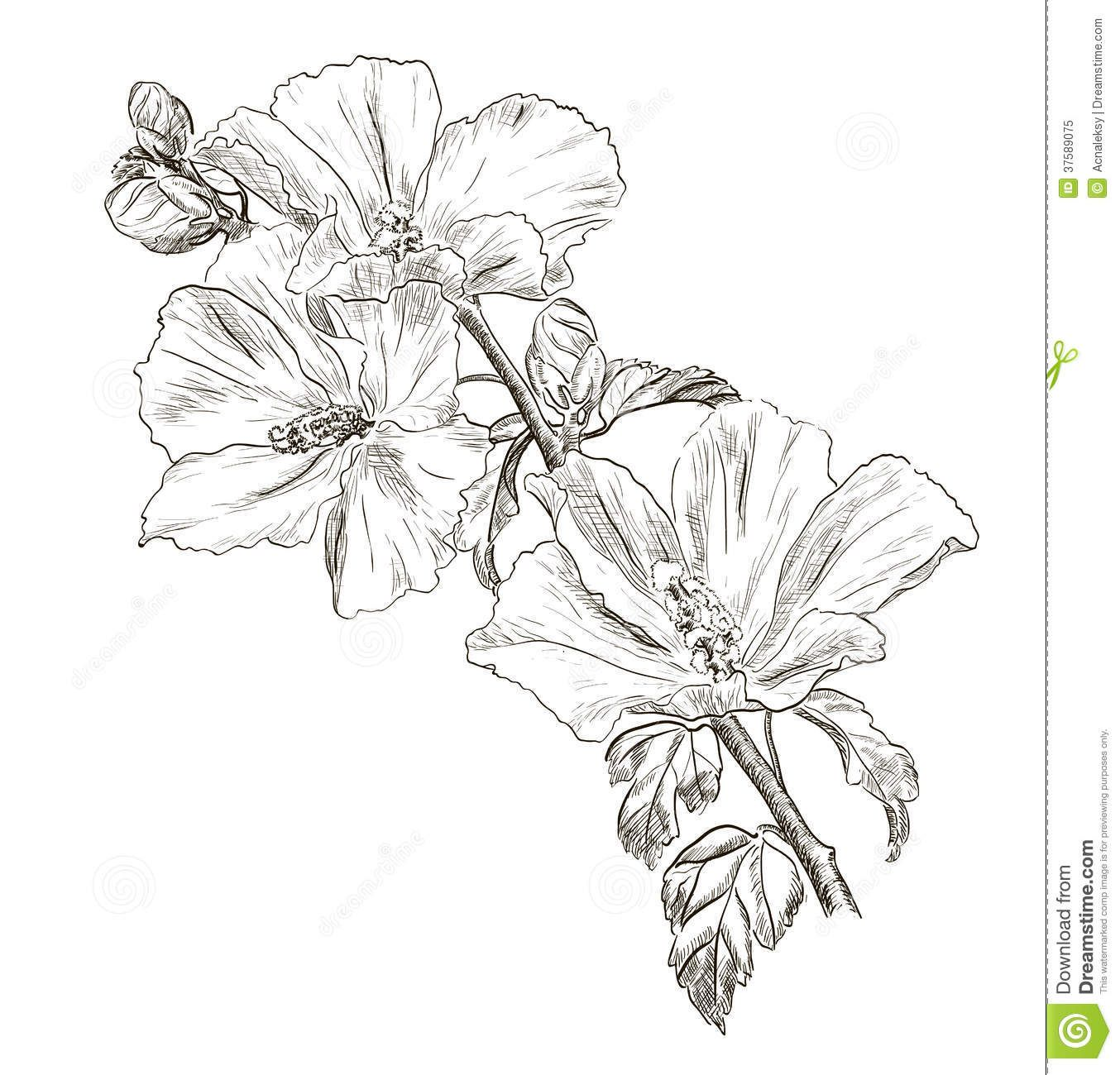 Hawaiian Flower Sketches Hand Drawing Hibiscus Flower Royalty Free