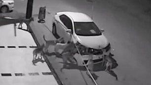Ritrova l'auto distrutta I teppisti sono cani randagi