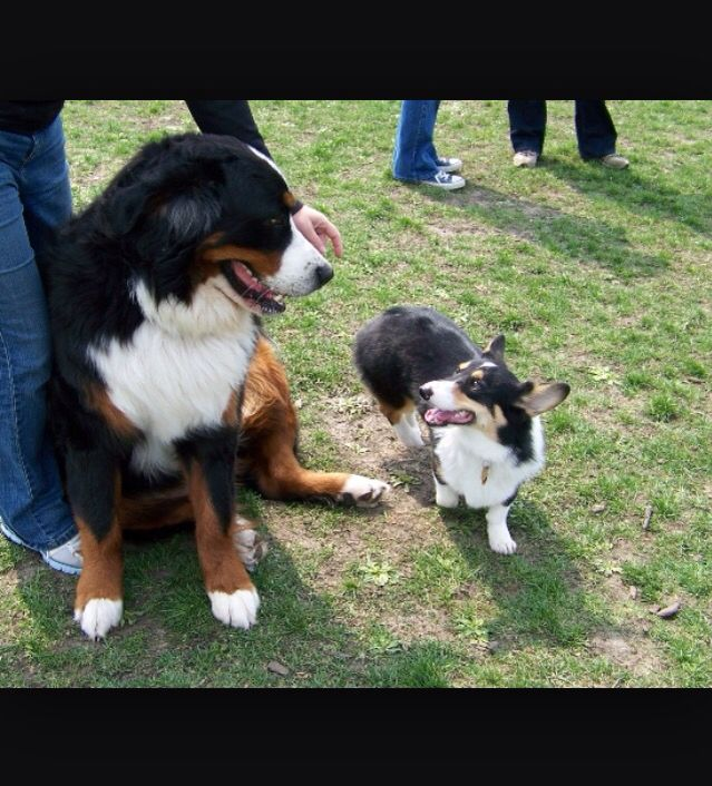 A Forever Bernese Mountain Puppy I Am Going To Have A Bernese Mountain Dog And Matching Corgi One Day Pets Corgi Dog Mountain Dogs