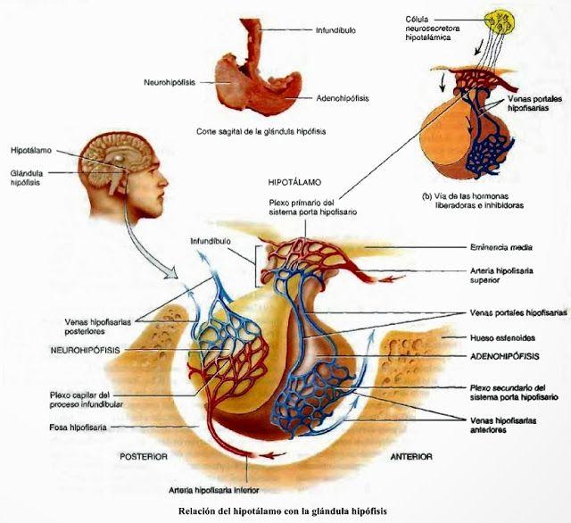Hipotálamo, hipófisis - Sistema endocrino - Anatomía humana general ...