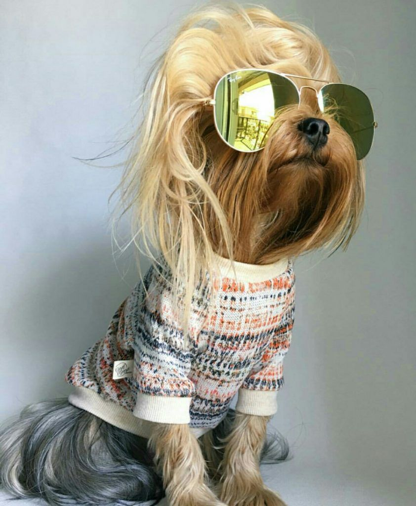 Meet Diesel Top 10 Facts Instagram Supermodel With Fabulous Blonde Hair Yorkshire Terrier Yorkshire Terrier Grooming Yorkshire Terrier For Sale
