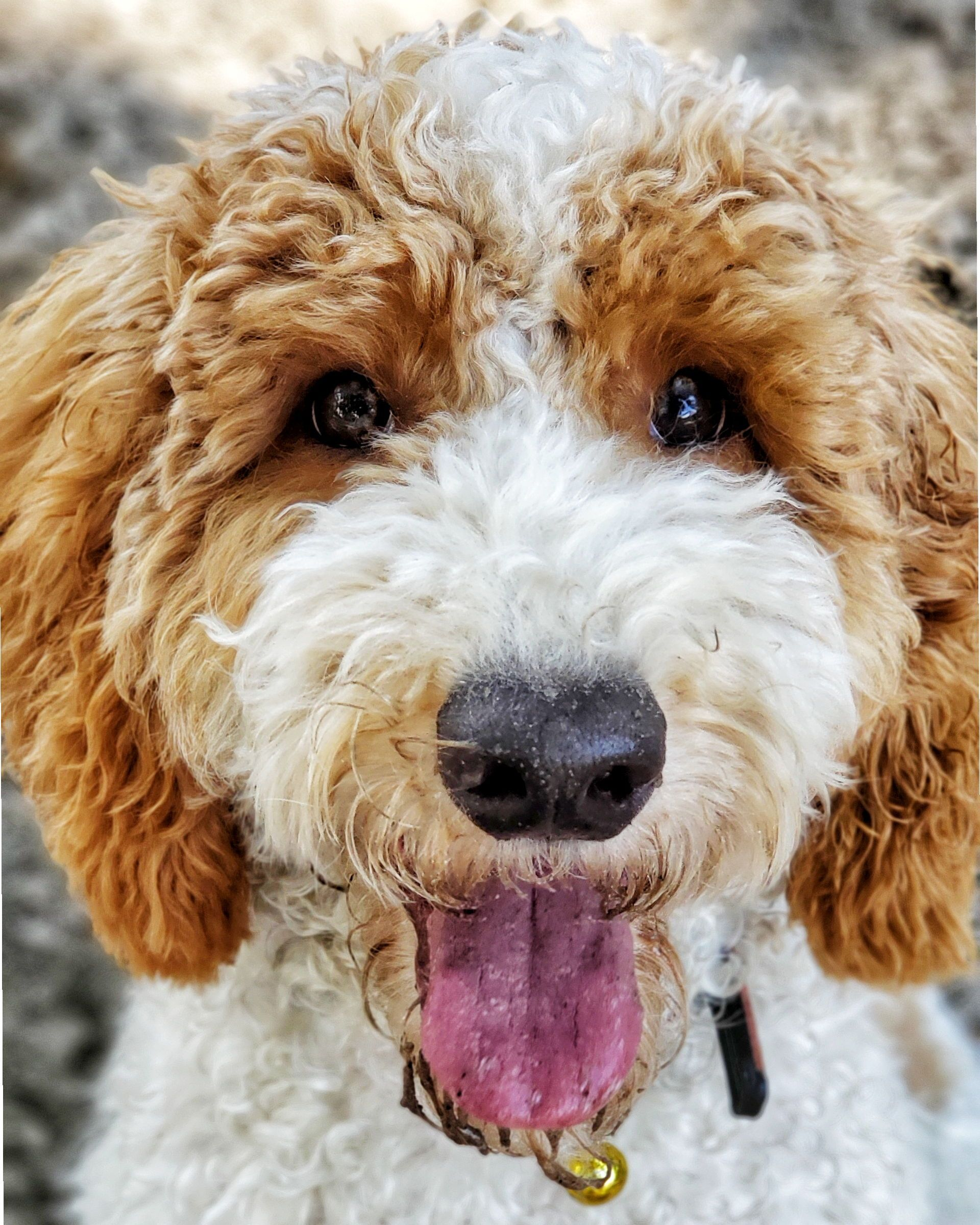 River Such A Sweet And Cute Labradoodle We Love Whenever He Come