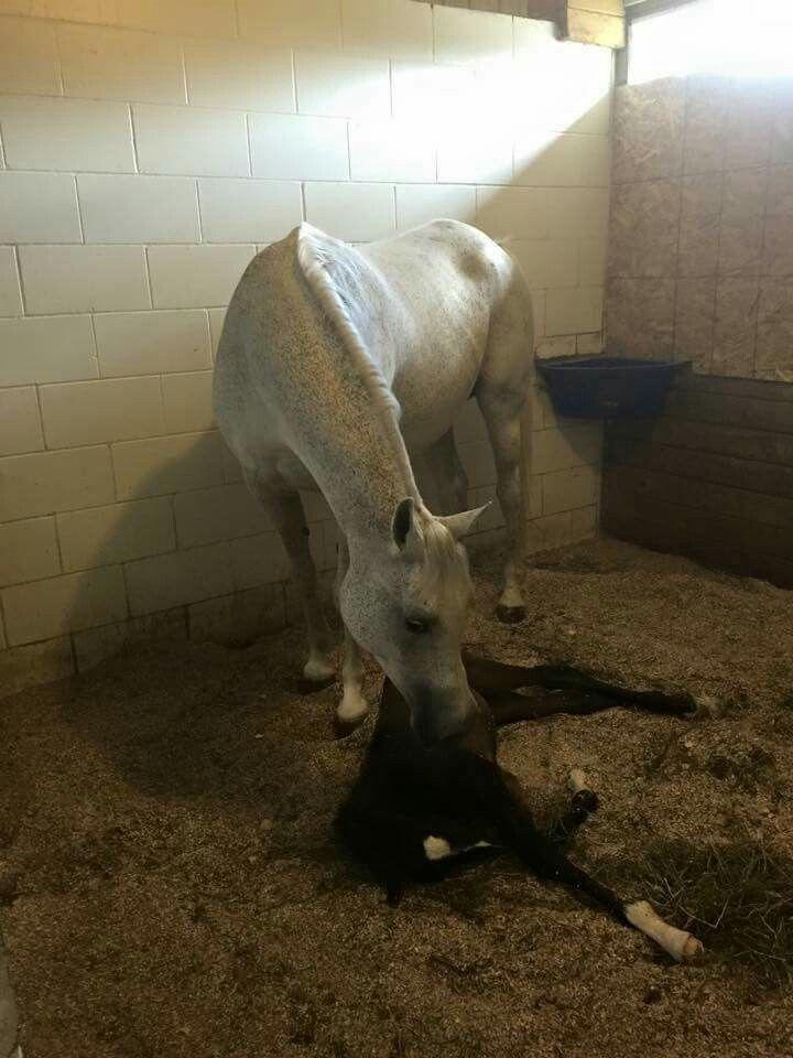 Arabian with foal.