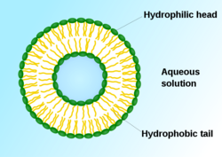 phospholipid_bilayer.png (250×177)