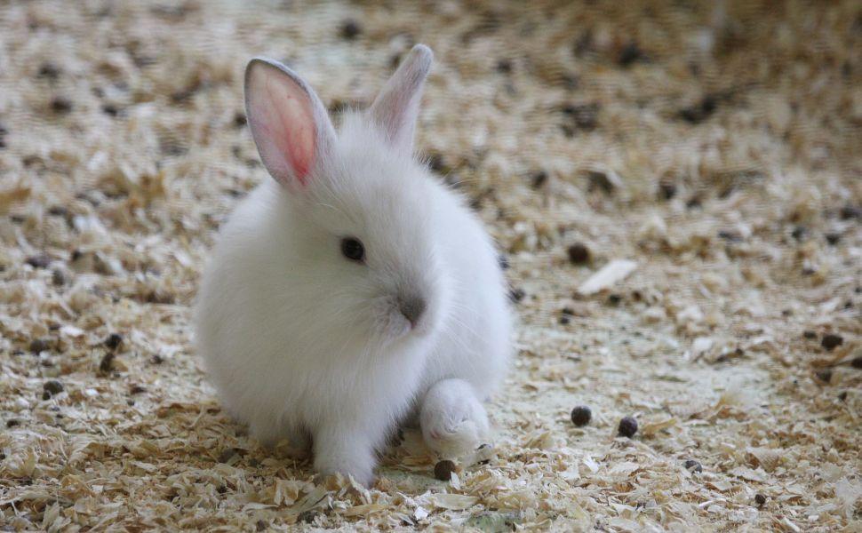 White Bunny HD Wallpaper