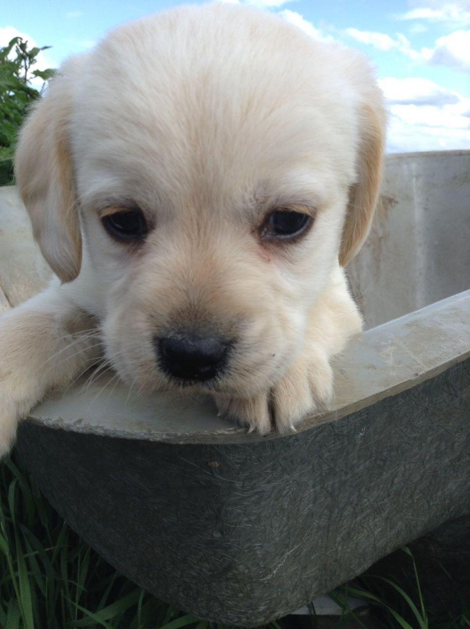 3 Adorable Cockerdor Pups For Sale Puppies For Sale Pup Pets