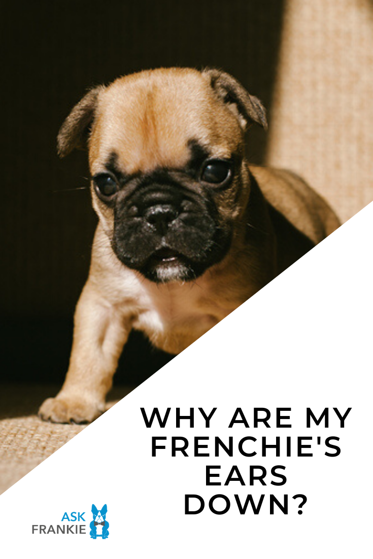 Why Are My French Bulldog's Ears Down? Reasons and