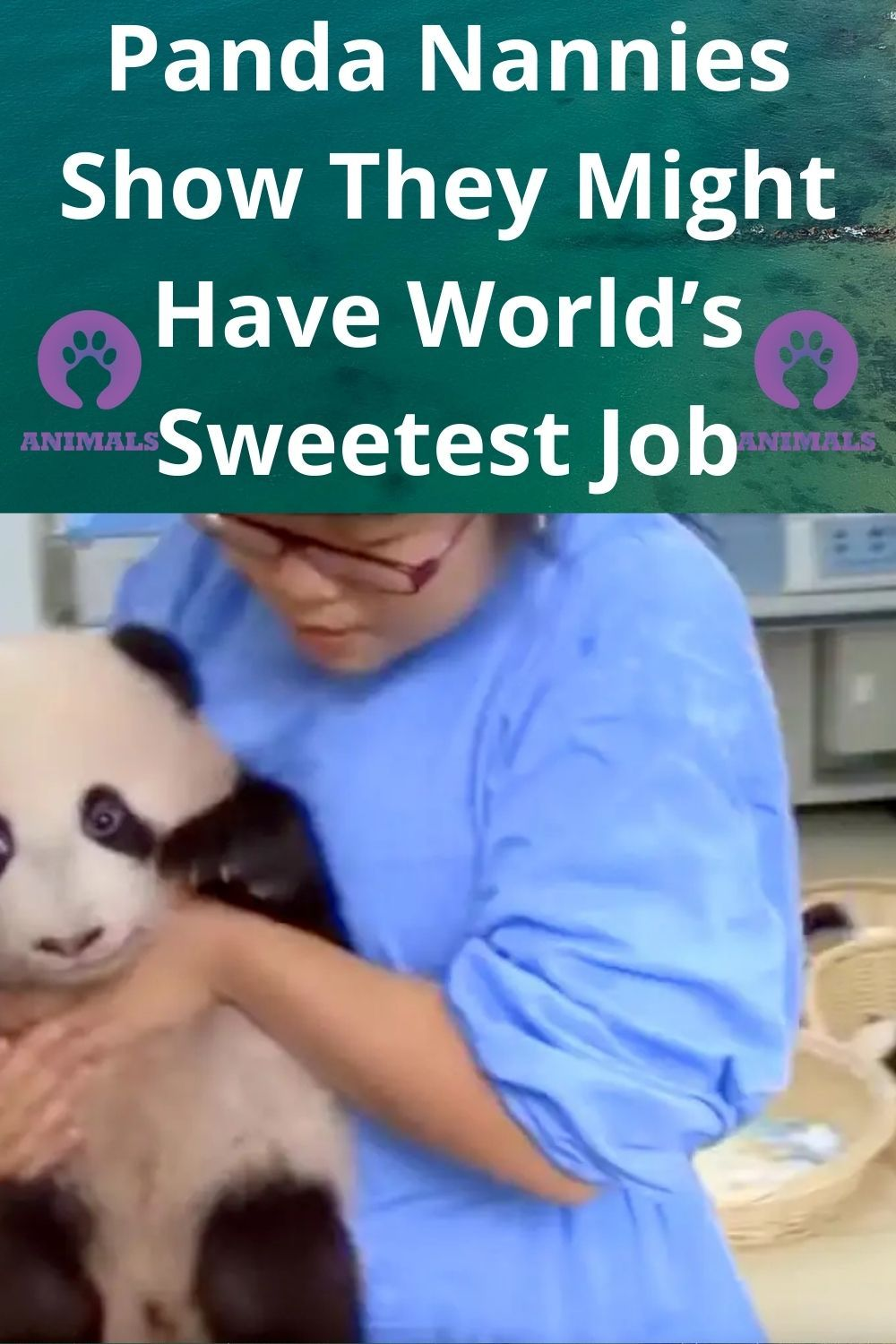 Panda Nanny Melts Hearts With Daily Duties In 2020 Nanny Show Fun Facts Funny