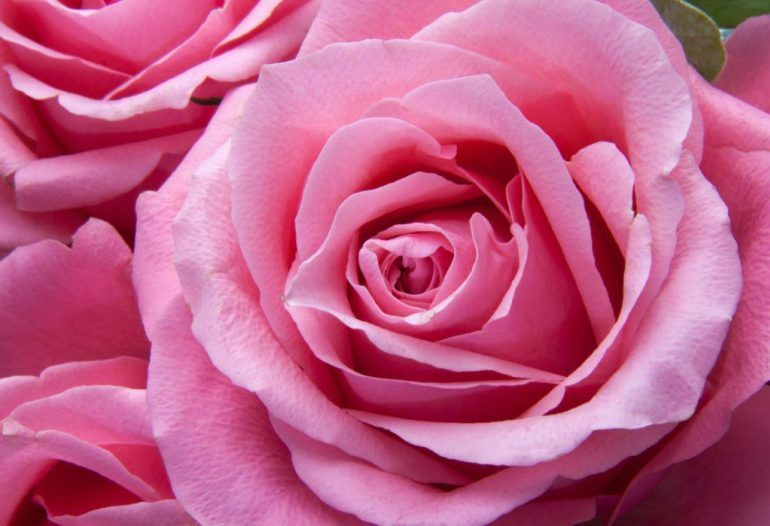Koleksi Foto Bunga Cantik Wallpaper Bunga Cantik Memang Gambar Bunga Mawar Menjadi Salah Satu Gambar Atau Fo Pink Rose Flower Rose Color Meanings Pink Roses