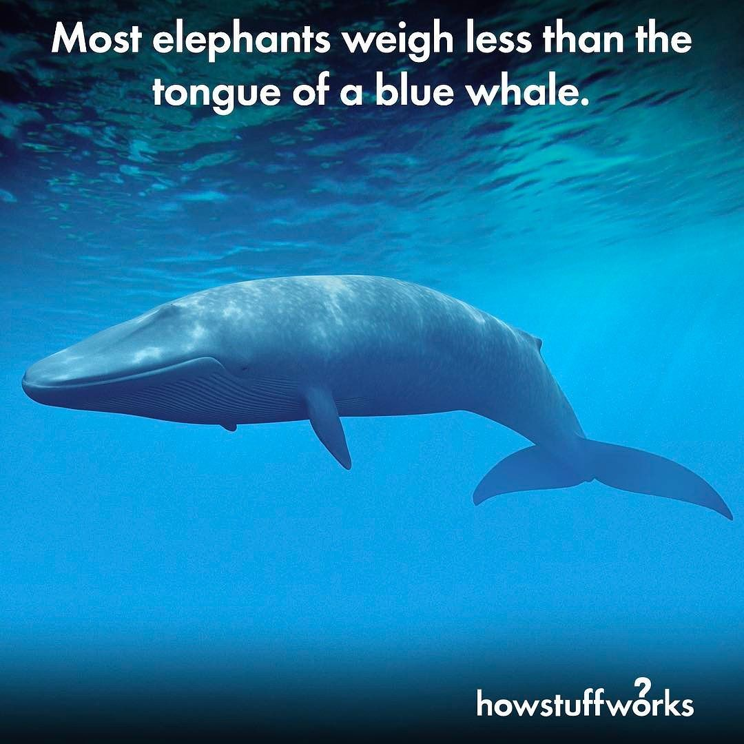 Most Elephants Weigh Less Than The Tongue Of A Blue Whale