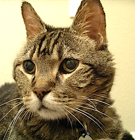 What You Ought to Know About Thyroid Problems in Cats