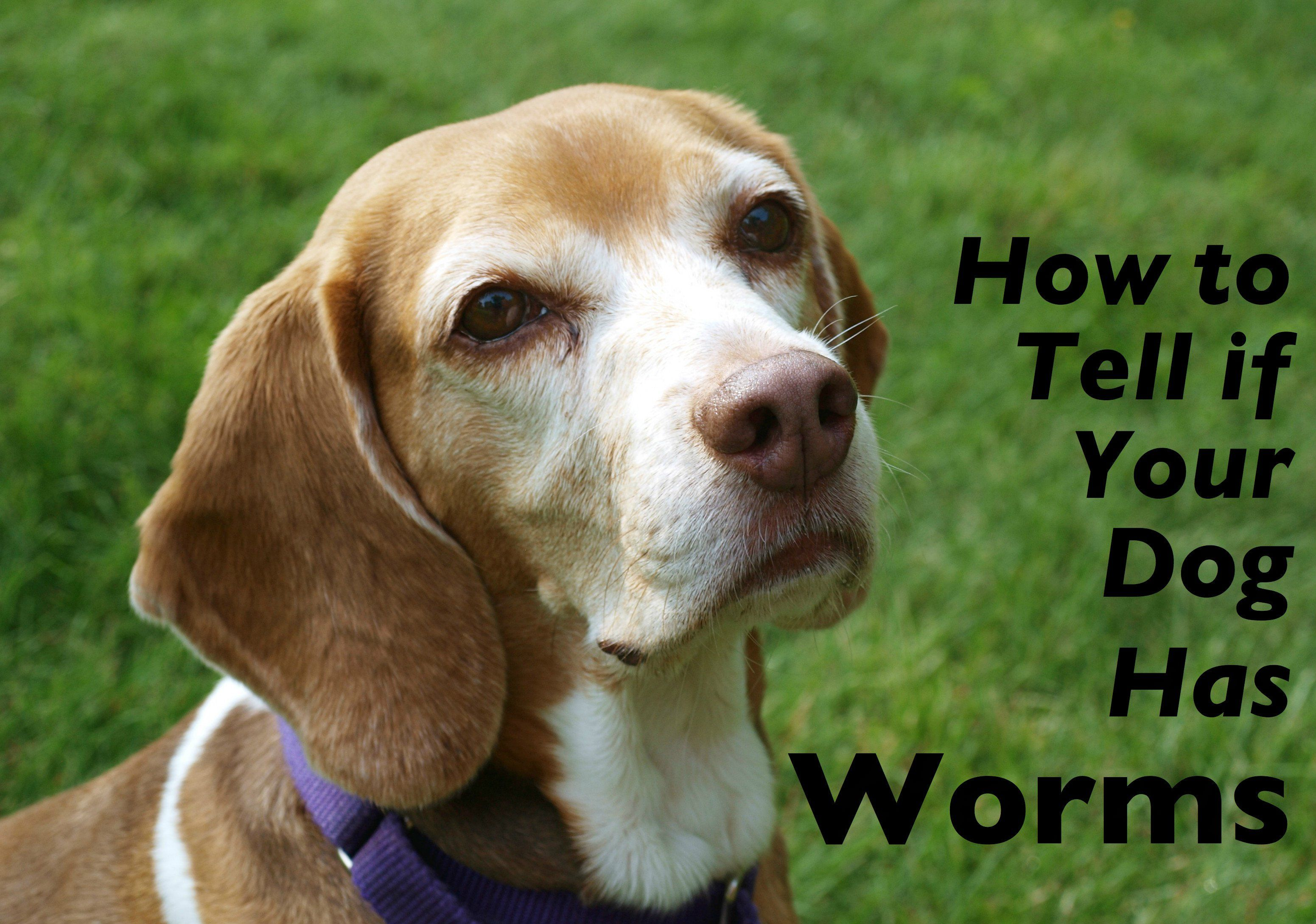 How To Tell If Your Dog Has Worms Dogs Your Dog Worms In Dogs