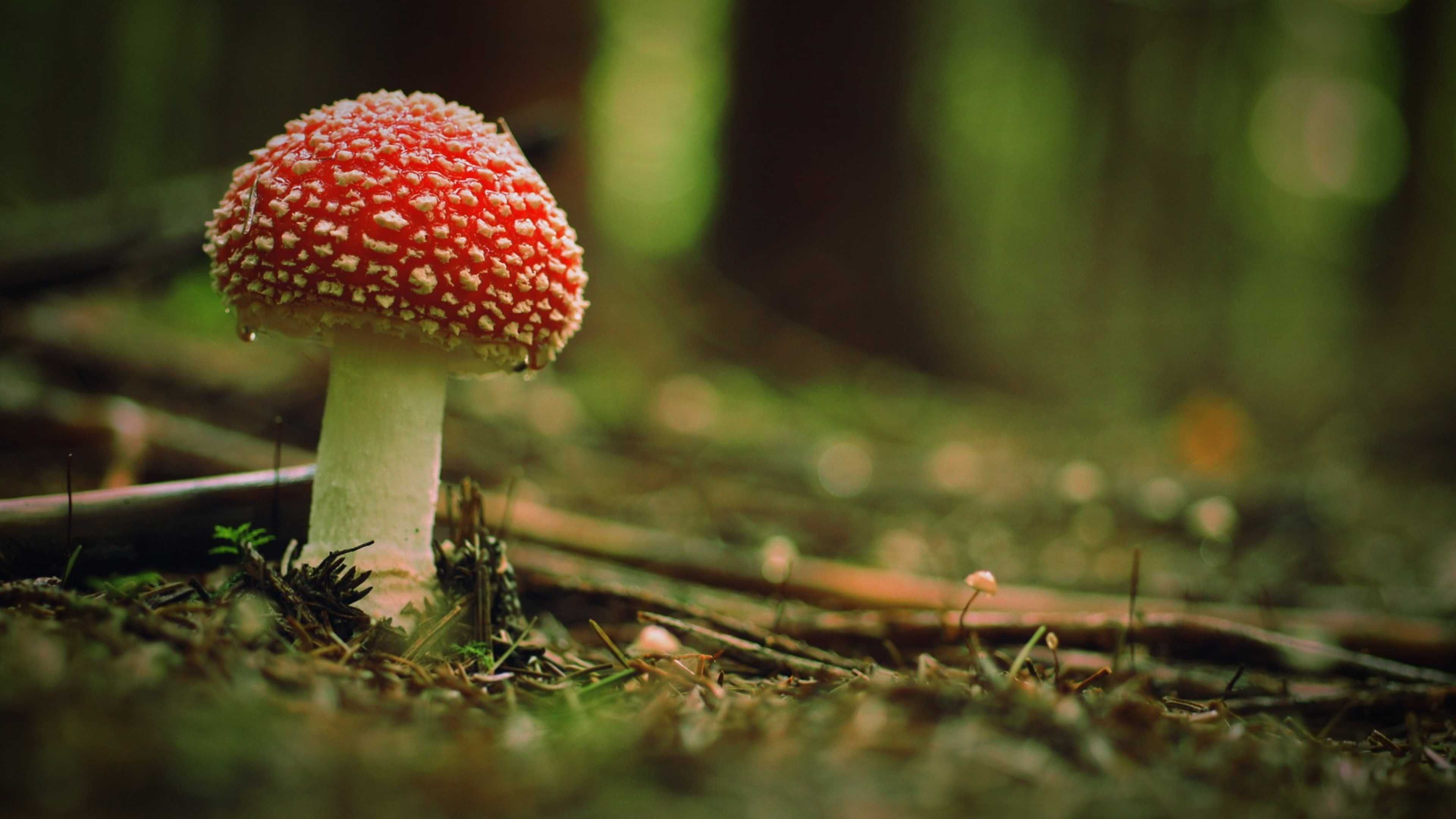 Wallpaper Download 3840x2160 Beautiful Poison Mushroom In