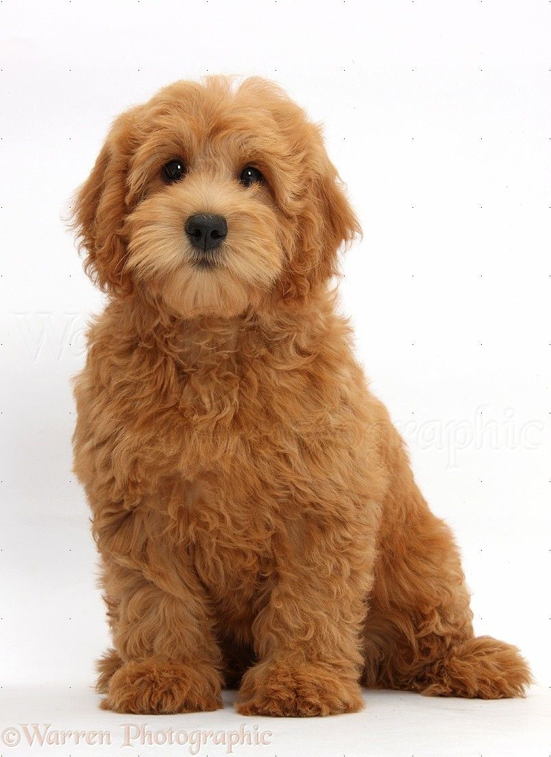 Toy Goldendoodle Wp39335 Cute Red Toy Goldendoodle Puppy