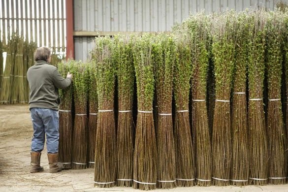 Willow Bundled for drying - PH Coate and Son