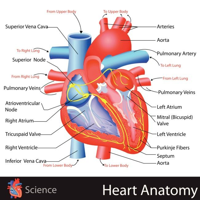Learn About The Heart With This Simple Anatomy Lesson Heart Anatomy Human Heart Anatomy Heart Diagram