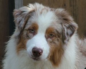 Vinelake Australian Shepherds - Bred By