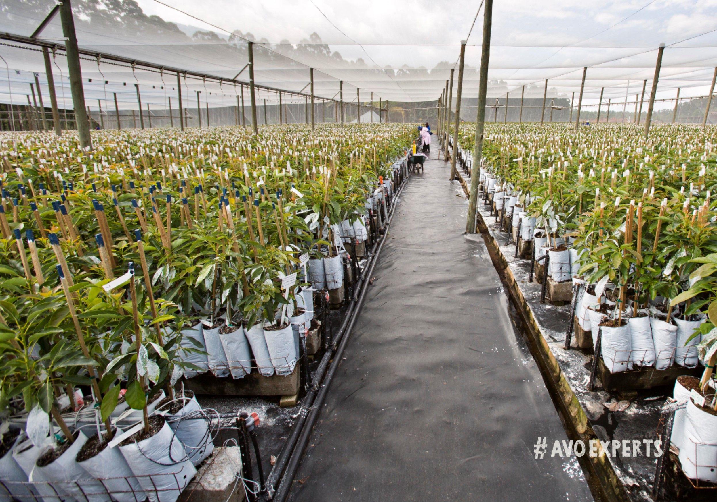 At Westfalia The Avocado Trees Are