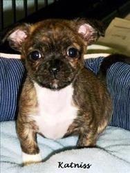 Adopt Katniss On Chihuahua Mix Puppies Animals Pugs
