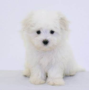 Pin By Cathy Young On Lovable Furry Friends Dogs Teacup Maltese Dogs And Puppies