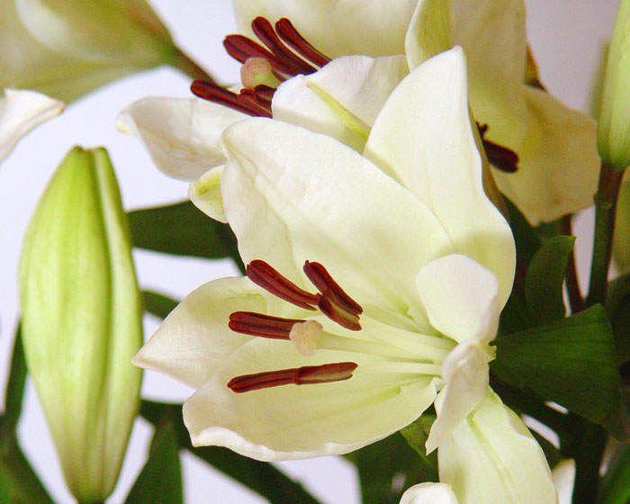 Flores de Lilium Asiático. - http://www.floresyplantas.net/el-lilium/