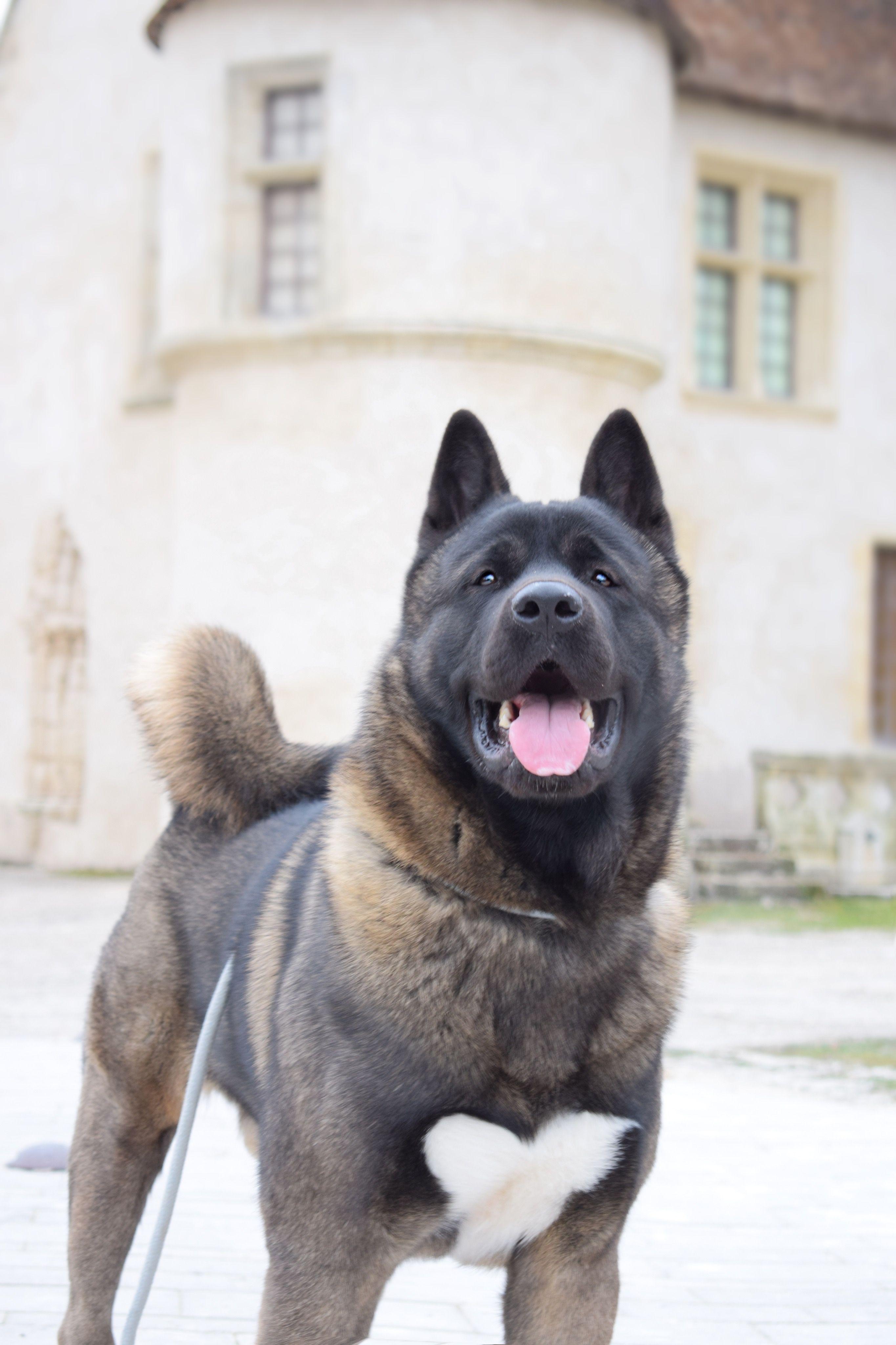 Akita Americain American Akita Dog Malcolm The Akita Akita Dog