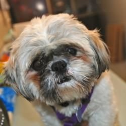 Adopt Mason On Shih Tzu Dog Shih Tzu Dogs